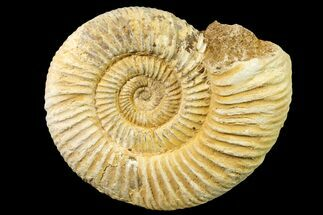 Perisphinctes sp. - Fossils For Sale - #161739