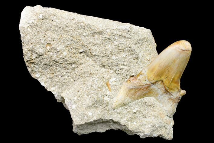 "2.7"" Otodus Shark Tooth Fossil in Rock - Eocene"