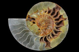 "Buy 7.75"" Cut & Polished Ammonite Fossil (Half) - Crystal Chambers - #162325"
