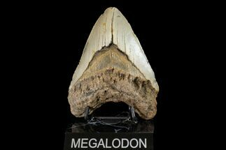 "Buy Bargain, 5.00"" Fossil Megalodon Tooth - North Carolina - #158191"