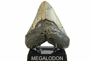 Carcharocles megalodon - Fossils For Sale - #158196