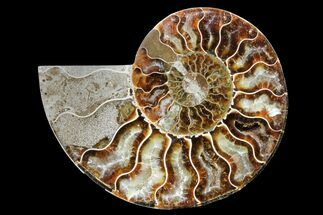 Cleoniceras - Fossils For Sale - #162153