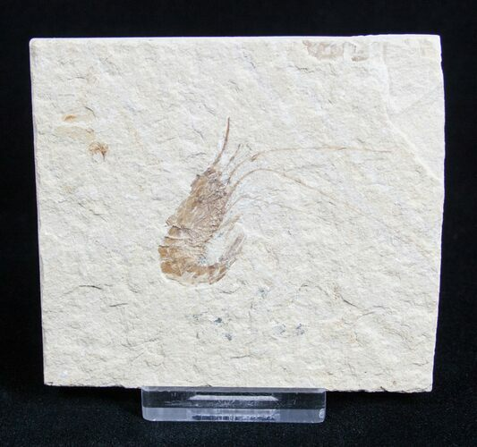 Fossil Shrimp Carpopenaeus From Lebanon