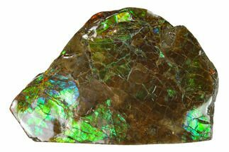 "2.45"" Iridescent Ammolite (Fossil Ammonite Shell) - Alberta, Canada For Sale, #162353"