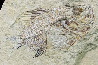 Stichocentrus sp. - Fossils For Sale - #162735