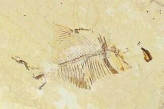 Diplomystus birdi - Fossils For Sale - #162744
