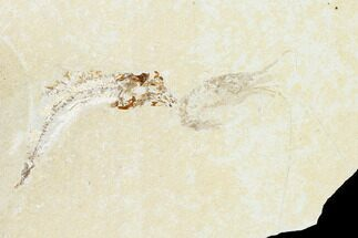 "3"" Cretaceous Fossil Fish (Gaudryella) and Shrimp - Lebanon For Sale, #162782"