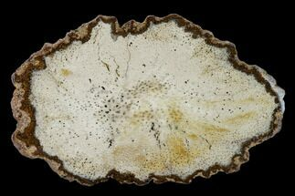 "Buy 6.75"" Polished, Petrified Palmwood (Palmoxylon) Round - Myanmar - #162895"