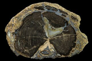 Schinoxylon sp. - Fossils For Sale - #162918