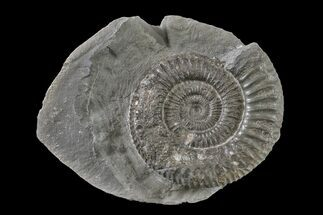 "1.9"" Ammonite (Dactylioceras) Fossil - England For Sale, #163004"
