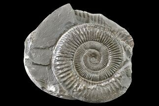 "2"" Ammonite (Dactylioceras) Fossil - England For Sale, #163007"