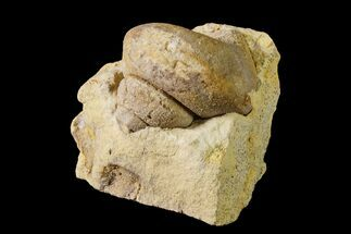 "1.3"" Ordovician Gastropod (Clathrospira) Fossil - Wisconsin For Sale, #162977"