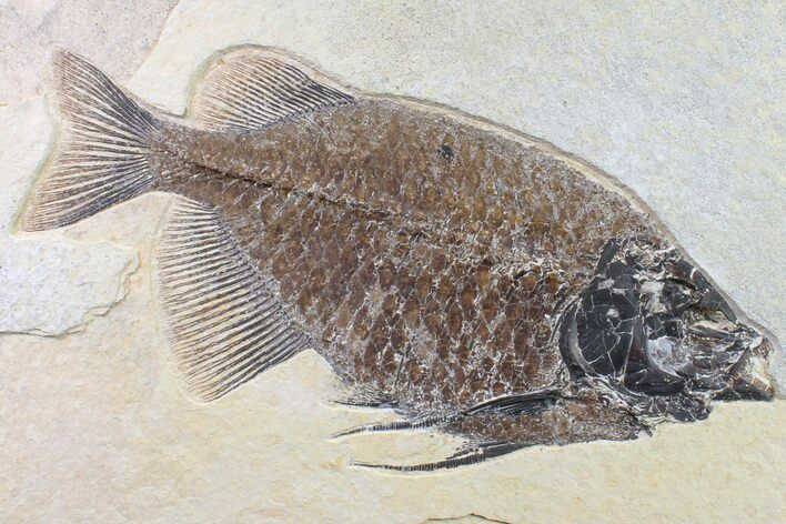 "9.3"" Fossil Fish (Phareodus) - Green River Formation, Wyoming"