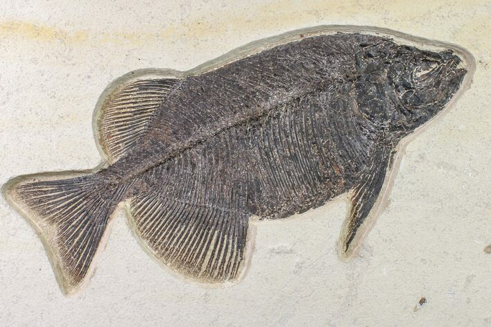 "13.4"" Fossil Fish (Phareodus) - Beautiful Specimen"