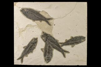 "Buy 10.4"" Shale With Five, Large Fossil Fish (Knightia) - Wyoming - #163447"