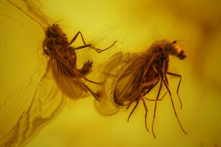 Two Fossil Flies (Dolichopodidae) In Baltic Amber