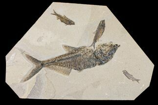 "Buy 12.7"" Fossil Fish (Diplomystus) With Three Knightia - Wyoming - #163522"