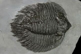 "4.6"" Arctinurus Trilobite - Classic New York Trilobite For Sale, #163595"