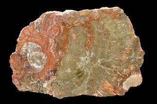 "Buy 7.9"" Polished Petrified Wood (Araucaria) Slab - Arizona - #163642"
