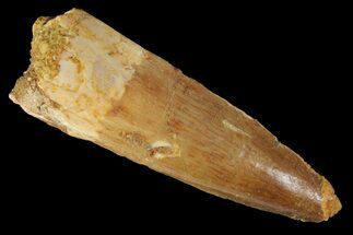 "Buy 1.7"" Spinosaurus Tooth - Real Dinosaur Tooth - #163783"