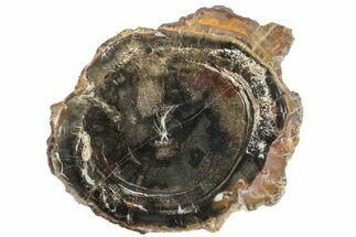"Buy 7.4"" Triassic Petrified Wood (Conifer) Slab - Utah - #163669"