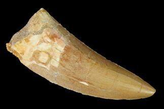 "Buy 2.4"" Serrated, Carcharodontosaurus Tooth - Real Dinosaur Tooth - #164053"