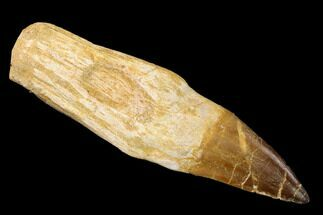 "5.7"" Fossil Rooted Mosasaur (Prognathodon) Tooth - Morocco For Sale, #163928"