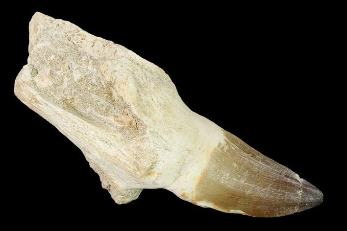 "5.5"" Fossil Rooted Mosasaur (Prognathodon) Tooth - Morocco"