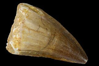 "Buy 1.9"" Fossil Mosasaur (Prognathodon) Tooth - Morocco - #164209"