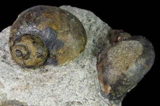 Two Ordovician Gastropod Fossils - Morocco For Sale, #164096