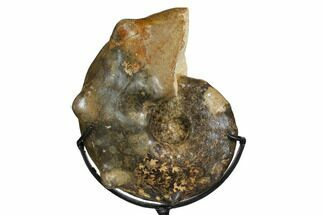 "Buy 6.4"" Cretaceous Ammonite (Mammites) With Metal Stand - Morocco - #164215"