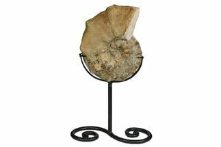 "Buy 7.1"" Cretaceous Ammonite (Mammites) With Metal Stand - Morocco - #164233"