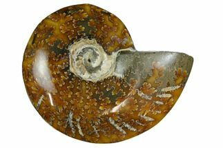 "3.75""  Polished, Agatized Ammonite (Cleoniceras) - Madagascar For Sale, #164147"