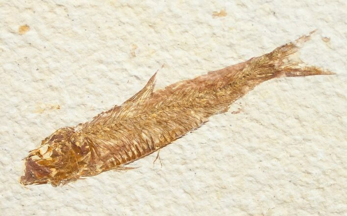 "Bargain 2.5"" Knightia Fossil Fish - Wyoming"