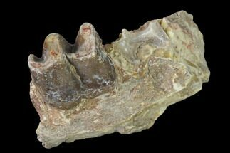 "2.1"" Fossil Running Rhino (Hyracodon) Jaw Section - South Dakota For Sale, #160913"