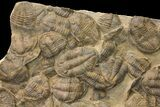 "33 x 27"" Mortality Plate Of Large Asaphid Trilobites - Taouz, Morocco - #164745-3"