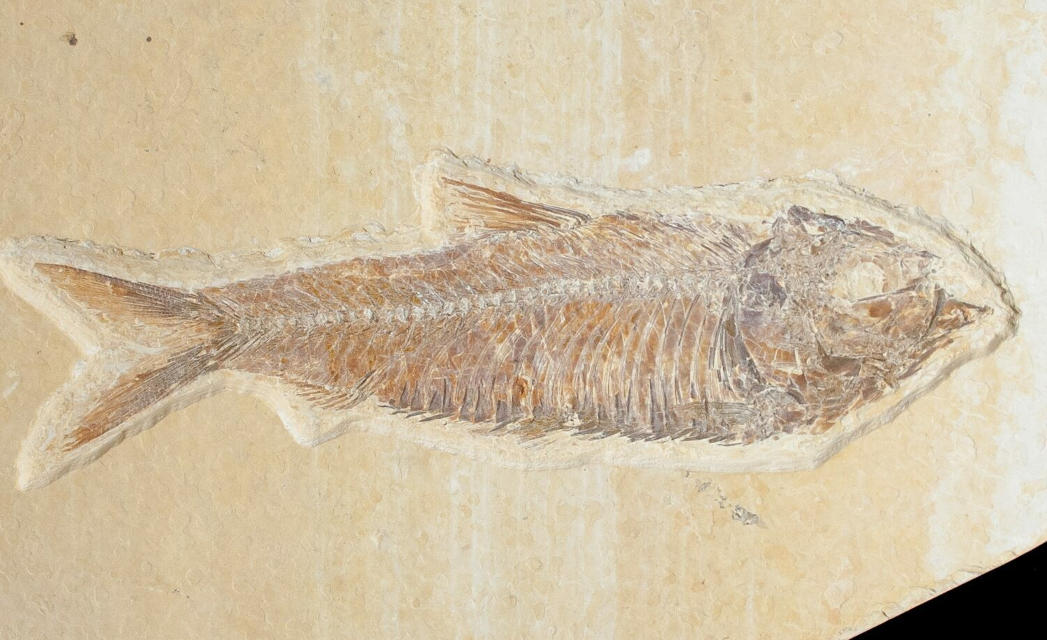 Diplomystus knightia fossil fish plate for sale 10895 for Fish fossils for sale