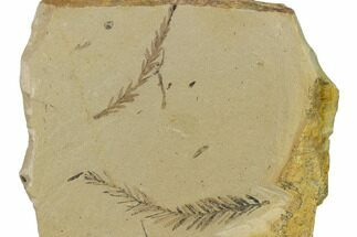 Buy Dawn Redwood (Metasequoia) Fossils - Montana - #165241
