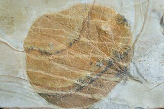 Zizyphoides flabellum - Fossils For Sale - #165024