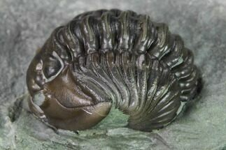 Enrolled Flexicalymene Trilobite In Shale - Mt. Orab, Ohio For Sale, #165365