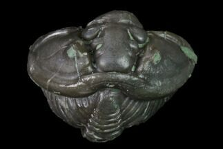 ".71"" Wide Enrolled Flexicalymene Trilobite - Mt. Orab, Ohio For Sale, #165350"