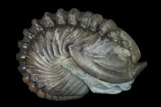 Flexicalymene retrorsa - Fossils For Sale - #165351
