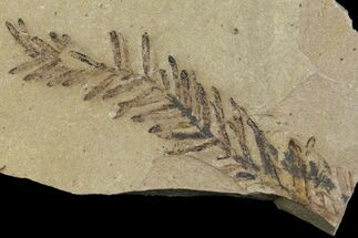 Metasequoia (Dawn Redwood) - Fossils For Sale - #165189