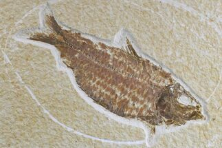 "4.5"" Detailed Fossil Fish (Knightia) - Wyoming For Sale, #165779"