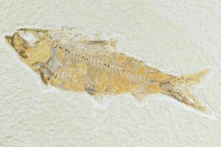 "4.3"" Detailed Fossil Fish (Knightia) - Wyoming For Sale, #165824"