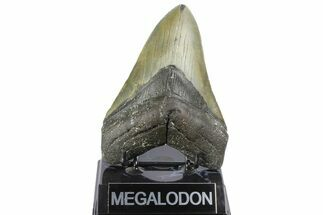 Carcharocles megalodon - Fossils For Sale - #164874