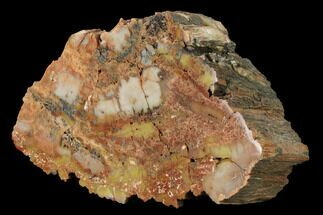 "Buy 7.9"" Polished, Petrified Wood (Araucarioxylon) - Arizona - #165991"