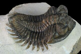 "2.2"" Coltraneia Trilobite Fossil - Huge Faceted Eyes For Sale, #165860"