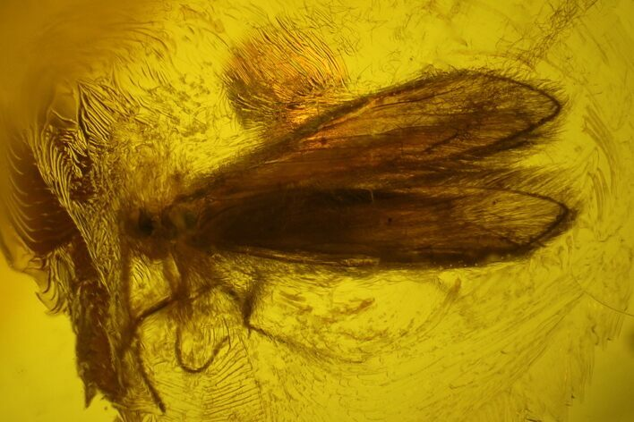 Hairy Fossil Caddisfly (Trichoptera) In Baltic Amber