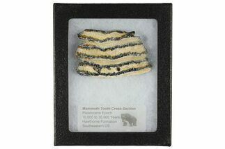 Mammuthus columbi - Fossils For Sale - #165132